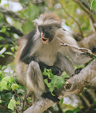 Red colobus Monke